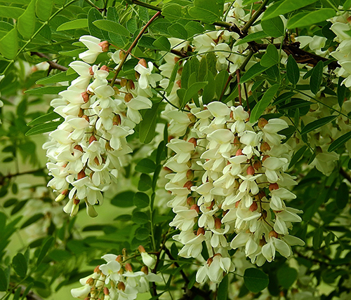 acacia robinia fiore