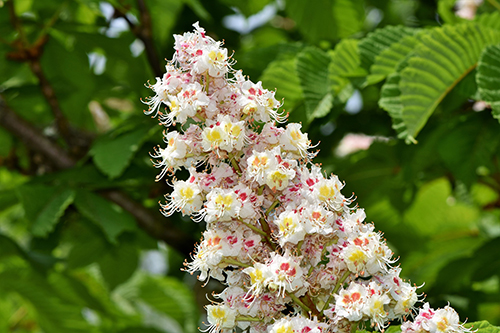 castagno fiore